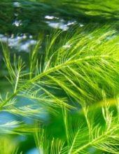 big_algae-fuel