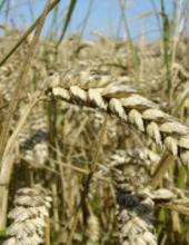 wheat-wikimedia